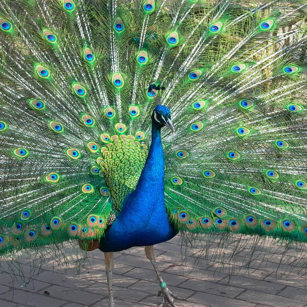 peacock photo transformational goal clarity coaching cheltenham gloucestershire