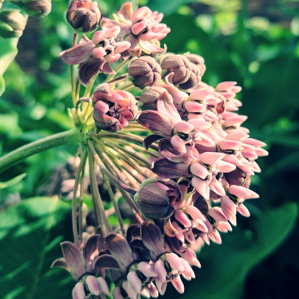 Milkweed in my garden.