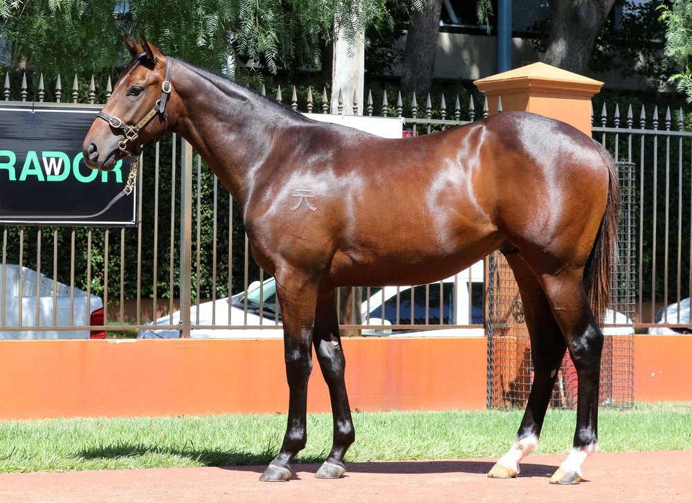 Lot 39  Colt Eurozone x More Chickens, by Zabeel - From a half-sister to stakes-winner Chickens, the dam of Group III winner Do You Think. From the family of Group I stars Faint Perfume, Danendri, Copperama and Danestorm.