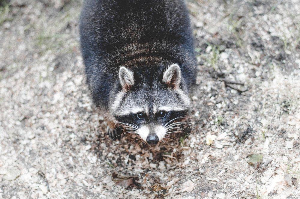 animal-raccoon-whiskers-16605.jpg
