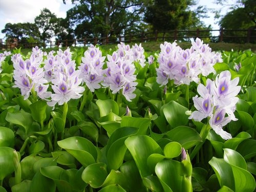 water_hyacinth_farm_pond_plants1.jpg