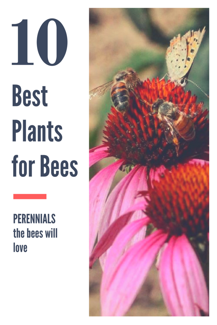 Top 10 perennials for bees mastersons garden center inc bee plants perennialsg mightylinksfo
