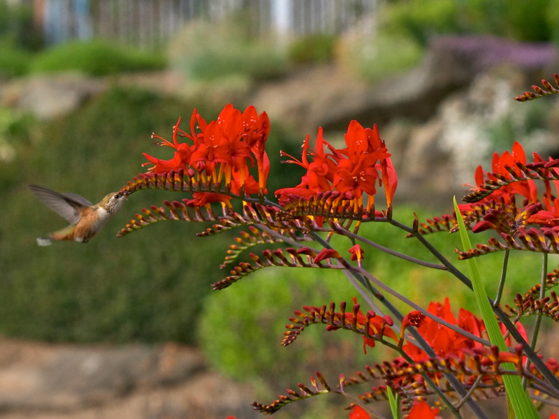 Crocosmia_Lucifer.jpg