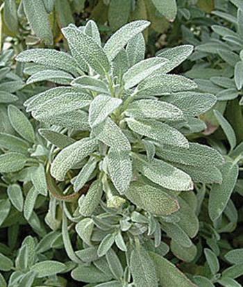 sage plant burpee.jpg