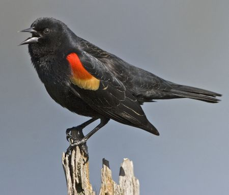Spring - redwing blackbird_450.jpg