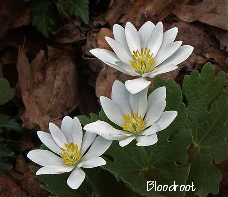 2019-03-29 Friday's Flower - Bloodroot.jpg