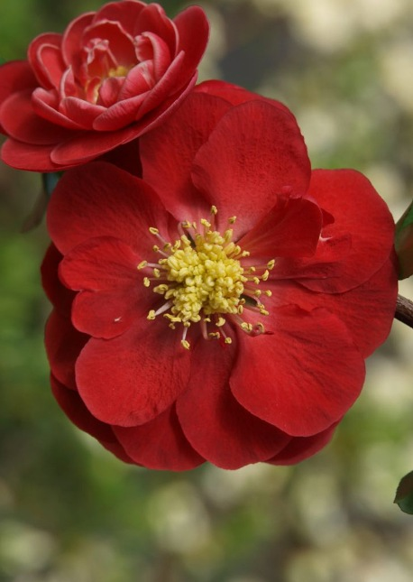 2019-04-05 Friday's Flower - Quince PW Doubletake Scarlet.jpg