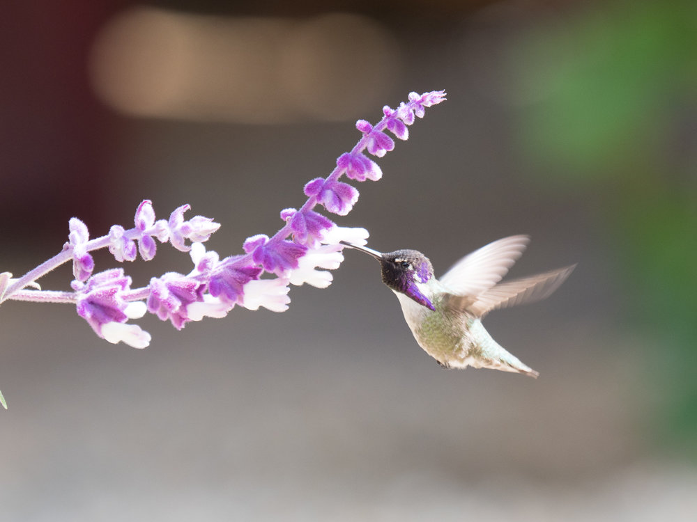 The Hummingbird and the Flower