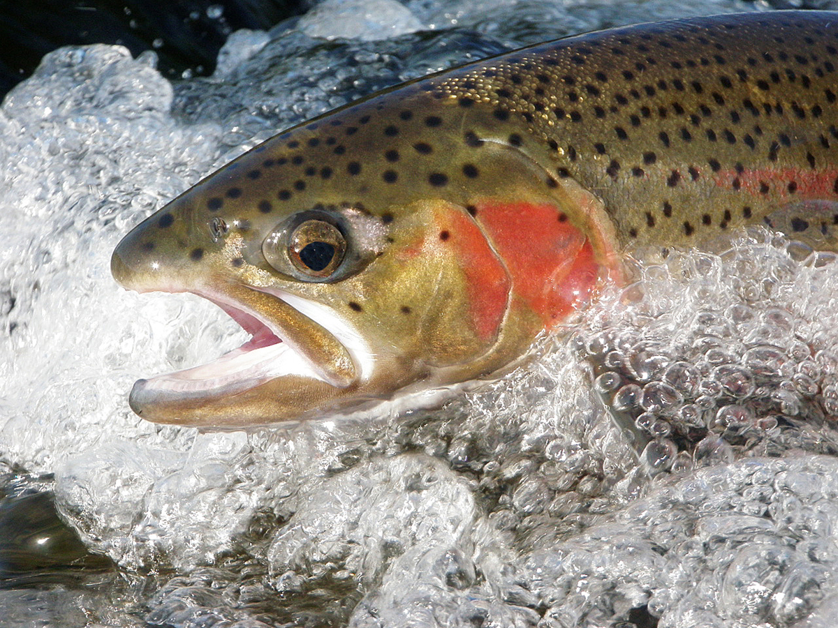 Redband trout, lower Deschutes River. Photo by Brian O'Keefe