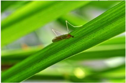 Antocha crane fly adult. Photo by Rick Hafele.