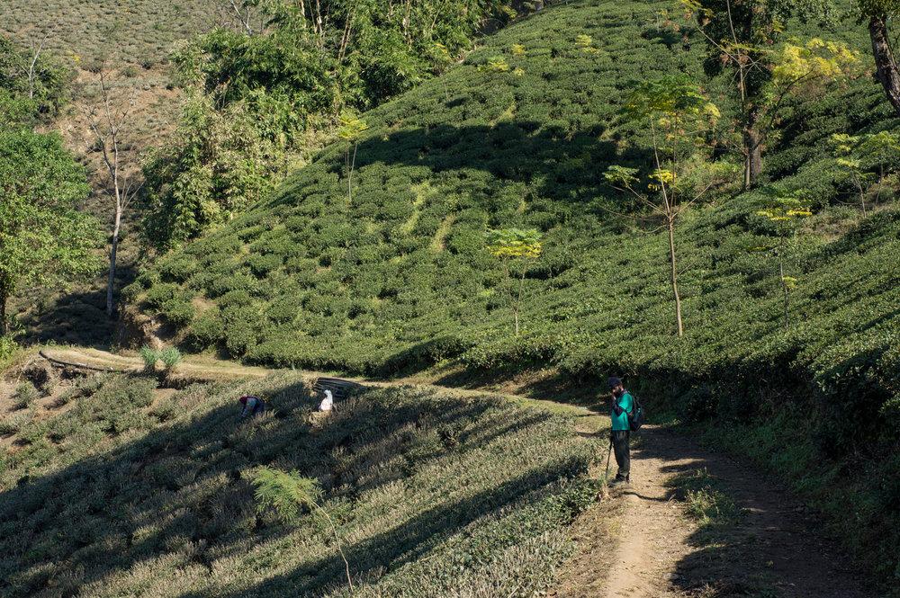 December 2011, Glenburn Tea Estate, Darjeeling, West Bengal, India.