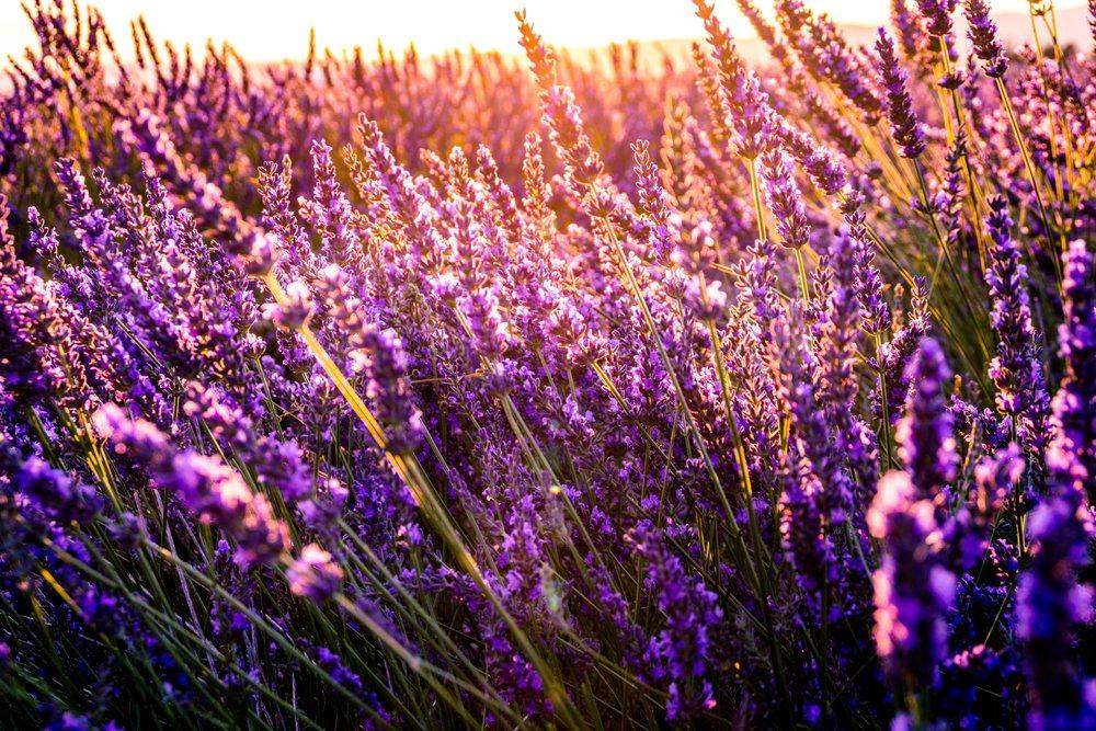 Lavendelåker i Provence, Frankrike