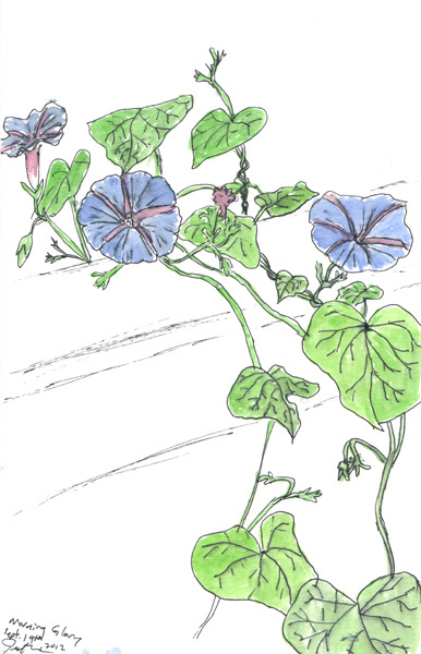 "Pen and watercolor.  ""Morning Glory"" on my back porch (September 2012).  Prints available. Copyright © 2012 - 2017 Jennifer Russ, All Rights Reserved."
