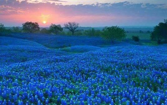Bluebonnets in Texas  FB_IMG_1420091187409.jpg