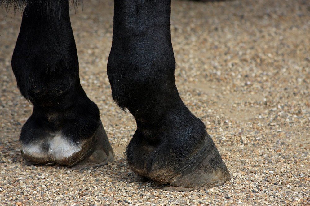 Scratches in horses are typically found on the lower legs, typically beneath fetlocks, or on the cannon bones and pasterns.