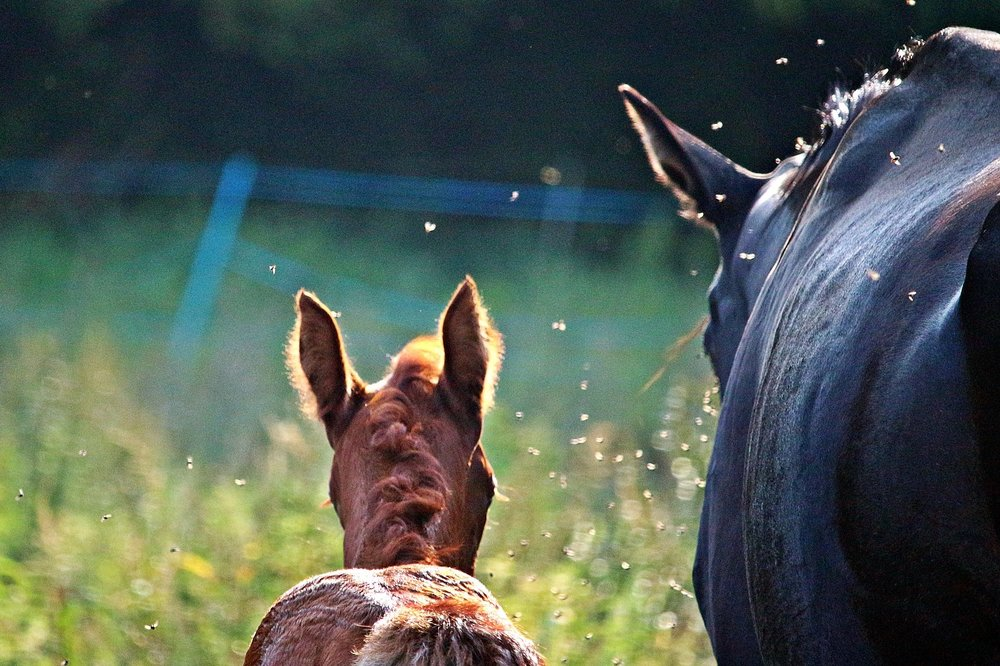 Relieve Sweet Itch - How to treat sweet itch on horses with COAT DEFENSE®.