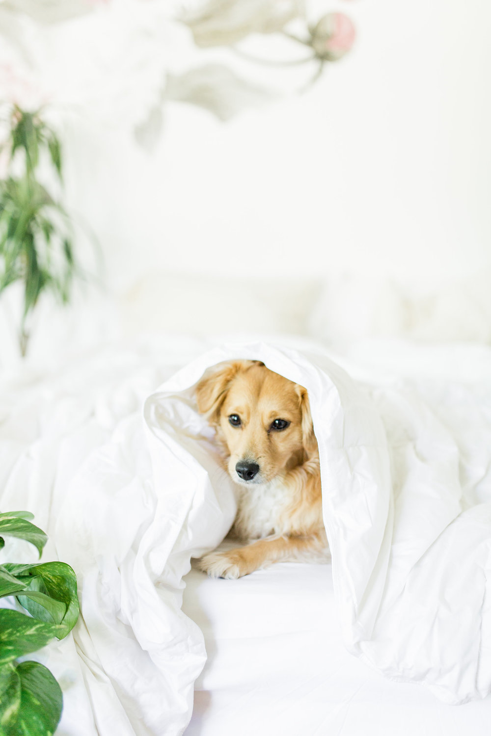 How to Get Better Sleep 3 Quality Bedding Basics To Build your Sanctuary The Company Store Review Joyfullygreen puppy bed.jpg