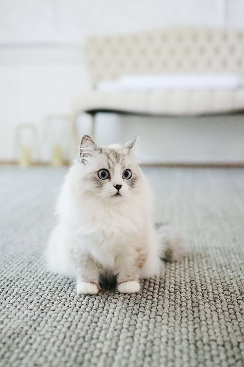 munchkin white persian mix minuet cat