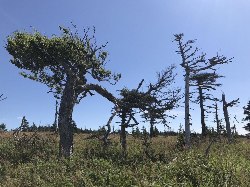 Funky trees on the Skyline Trail.