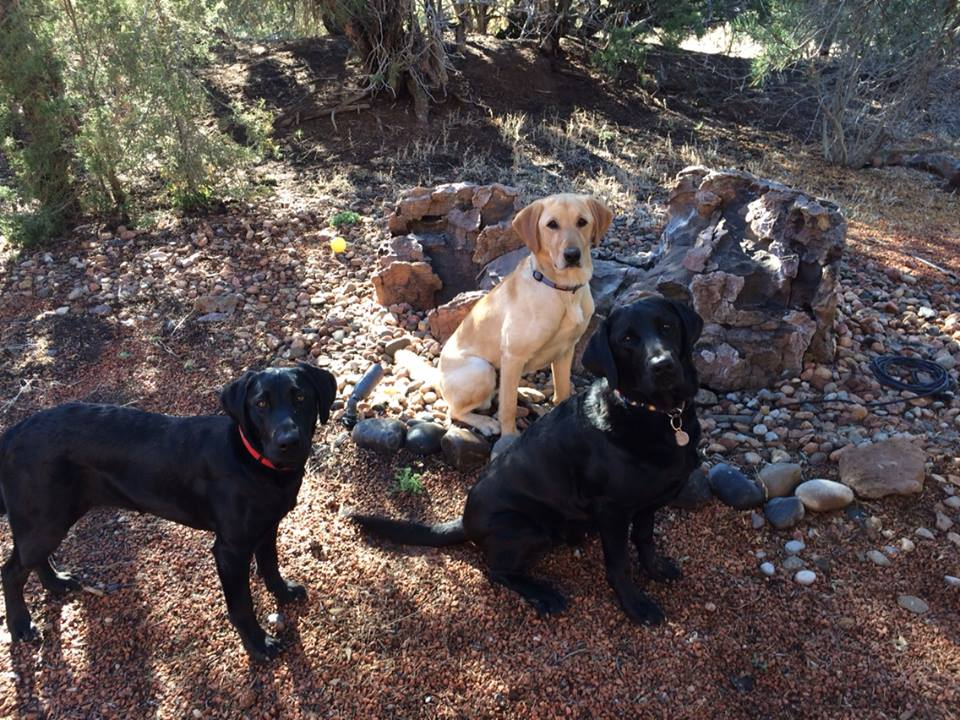 My three disaster search dogs Piper, Sirius, and Finnegan