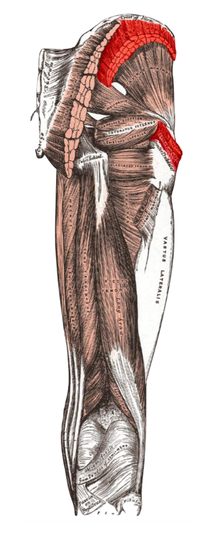 Henry Gray. Anatomy of the Human Body.
