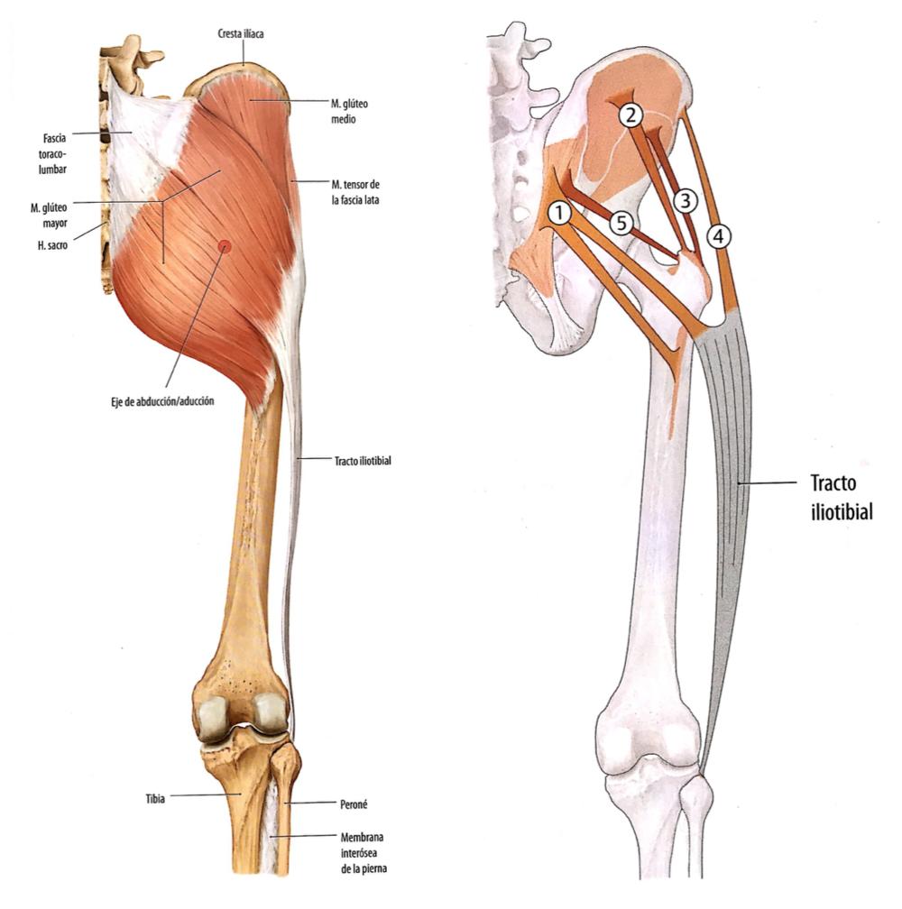 El Músculo del Mes | Glúteo Mayor: anatomía y mecánica — NMIT
