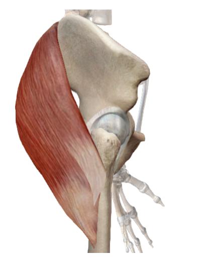 Visible Body. Atlas de anatomía humana.
