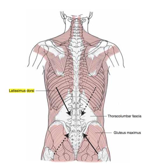 glúteo-mayor-dorsal-ancho