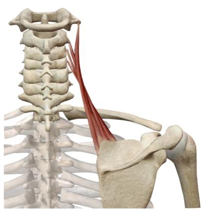 El Músculo del Mes | Elevador de la escápula: anatomía y mecánica — NMIT