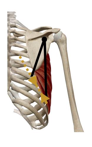 mecánica-frontal-serrato-anterior.png