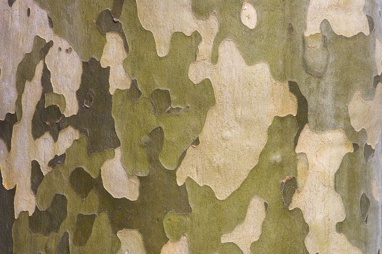 distinctive bark