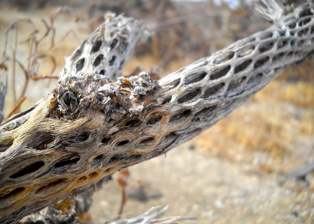 "When the cholla cactus dies, the softer plant material decays, leaving a woody ""skeleton"" with a characteristic reticulate pattern."