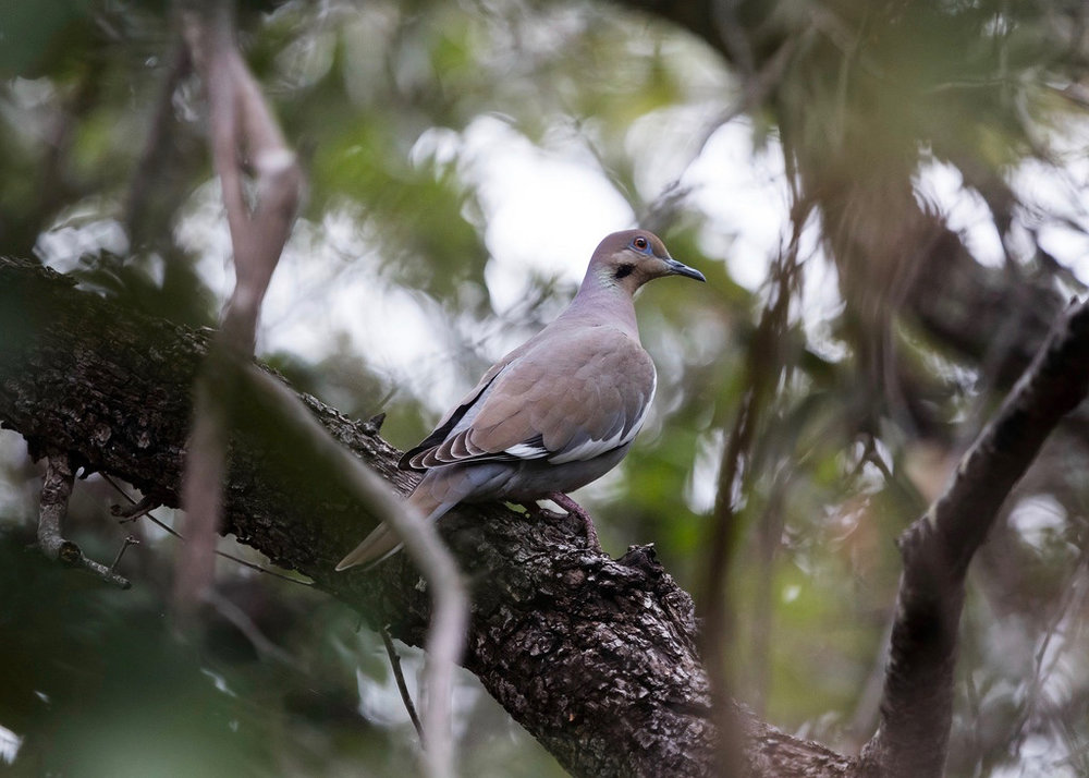 White-winged doves are common game birds in Mexico.