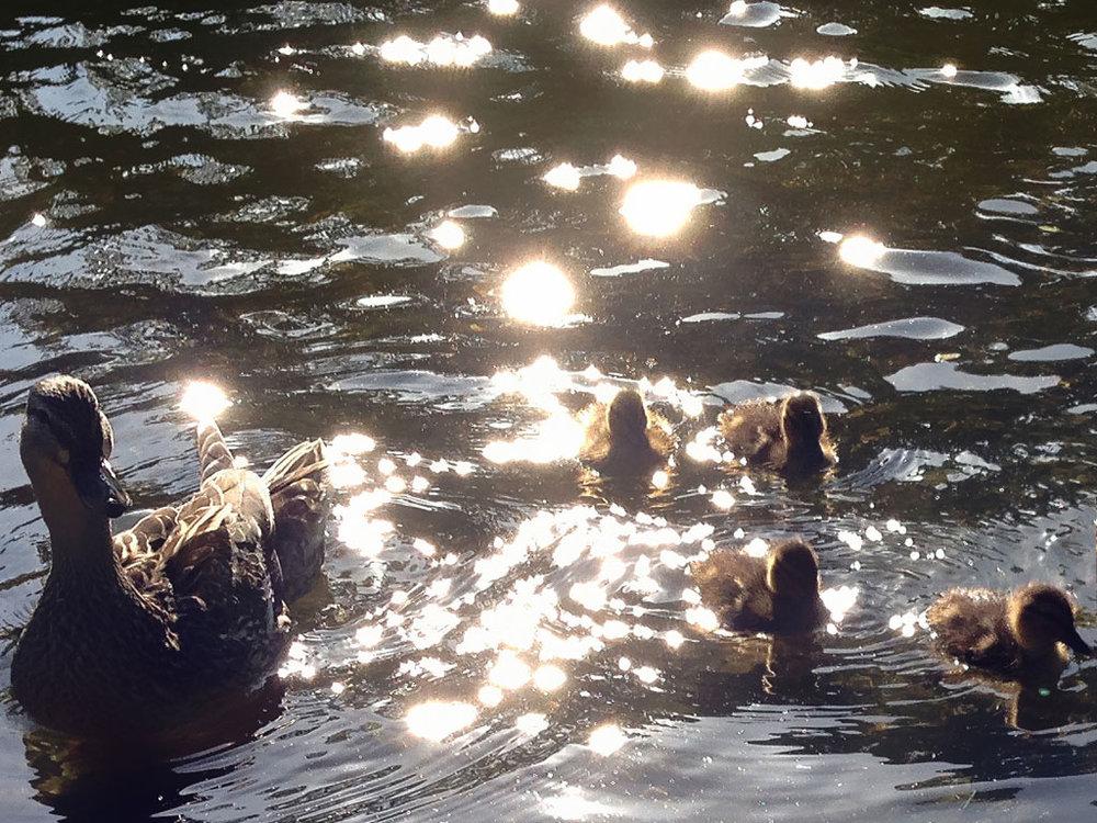 VomvoVisionz_NewEngland_Ducks.jpg
