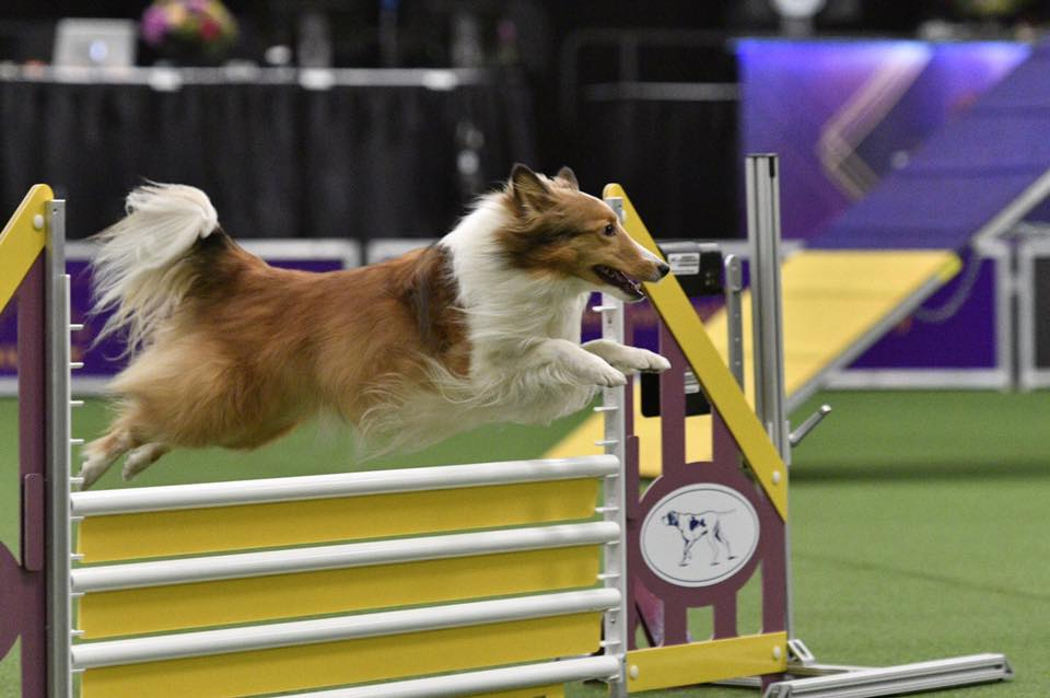 Mika at the Westminster Kennel Club Masters Agility Championship.