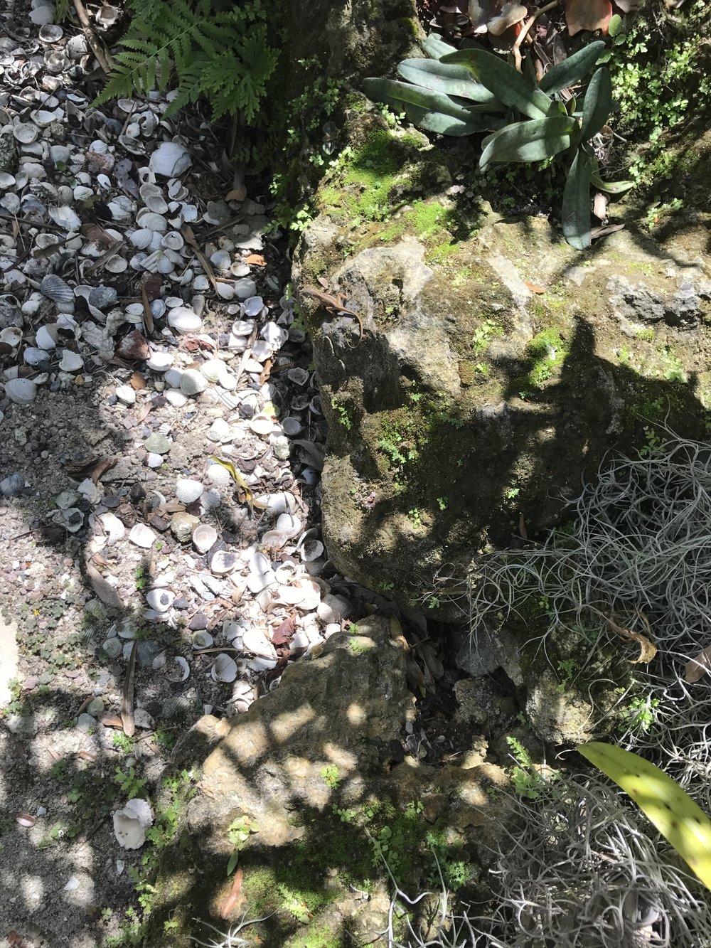 Botanical Garden, Naples, FL Geckos.JPG