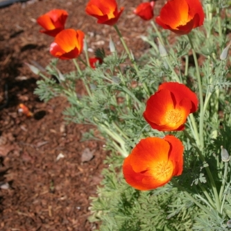 bright poppies.JPG