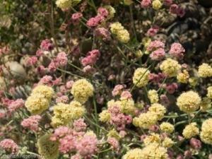 buckwheats.jpg