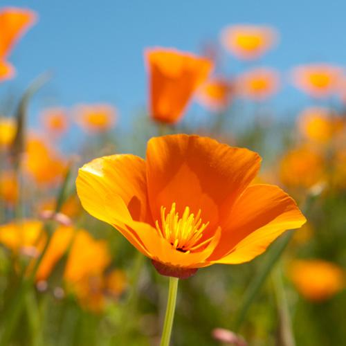 6 - california_poppy.jpg