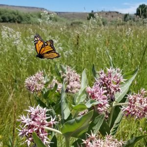 Monarch-flying-over-showy-milkweed-Oregon-Stephanie-McKnight-2-300x300.jpg