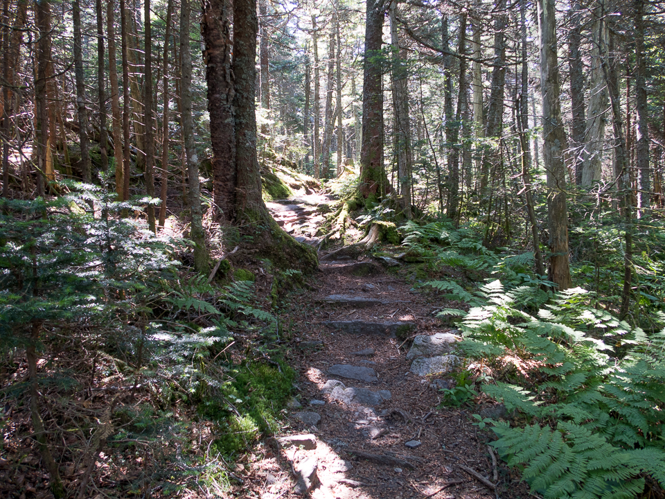 long trail pine forest (1 of 1).jpg