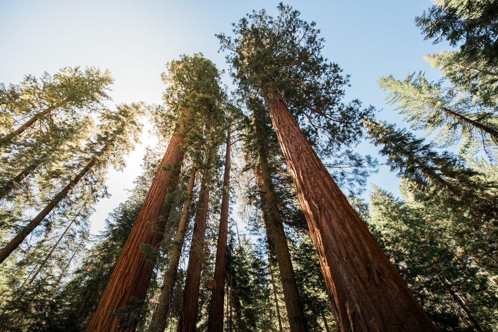 Sequoa Trees