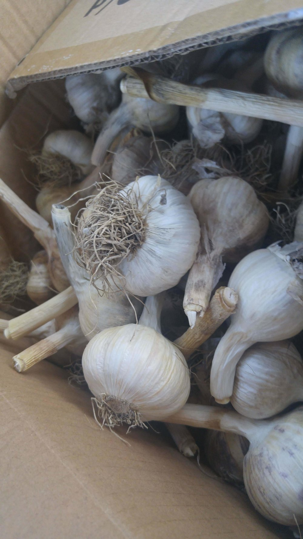 80lbs of a variety of garlic known as Music. It grows well in Canadian climates.