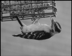 """""""Woodpecker"""" ( Southern Poetry Review , reprinted with permission by  Verse Daily , 2009)"""