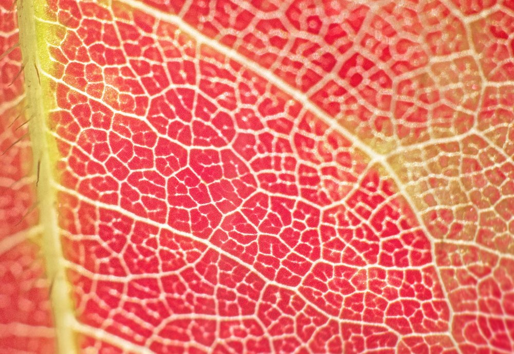 Roadmap Leaf Macro Nikon 50mm 1.8