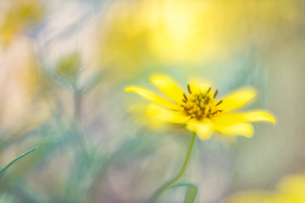 All Yellow September 17, 2018 Stone Mountain, GA Nikon D810 Lensbaby Velvet 85
