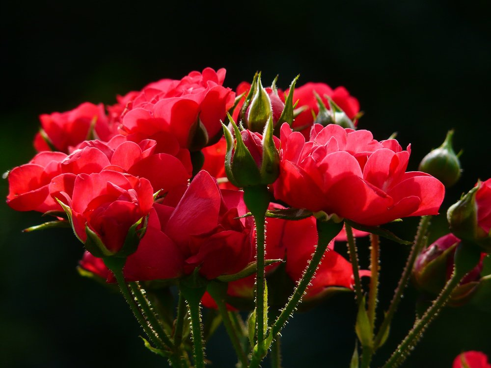 rose1.jpeg