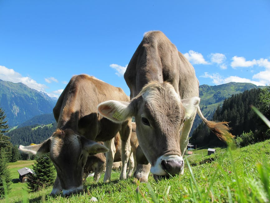 cows-cow-austria-pasture-sky-64231.jpeg