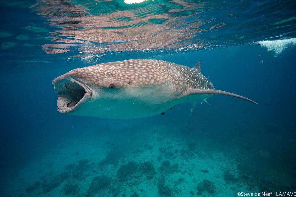 whale-shark-stevedeneef-lamave-philippines