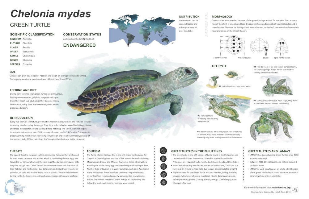 For more information on the green turtle, click here to download our Green Turtle Infographic (shown below) which was illustrated and designed for LAMAVE by Nailah Alam.